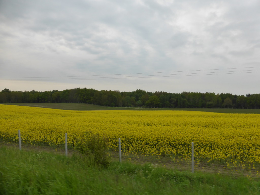 Scene of the countryside, lots of canola field.