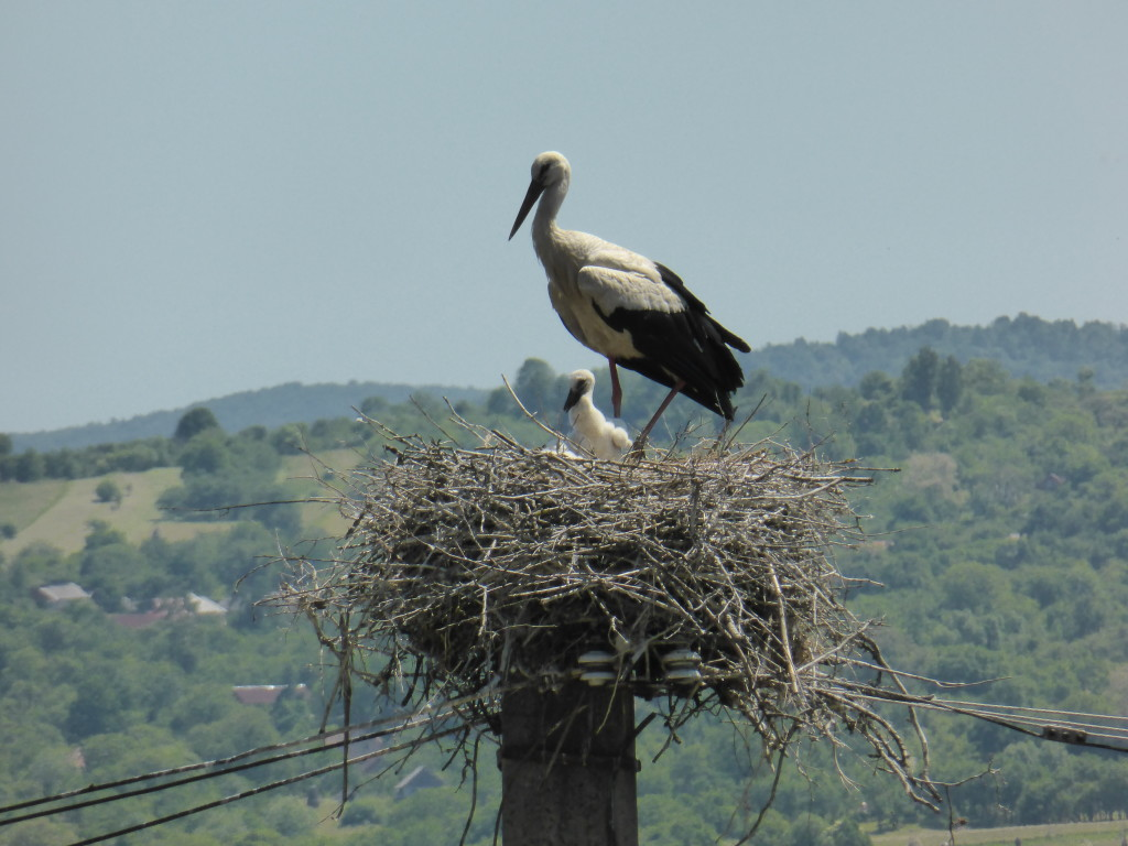 Storks are everywhere in eastern Europe and most of them had babies in the nest.
