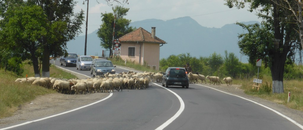 Sheep crossing on the main road to Rasnov.