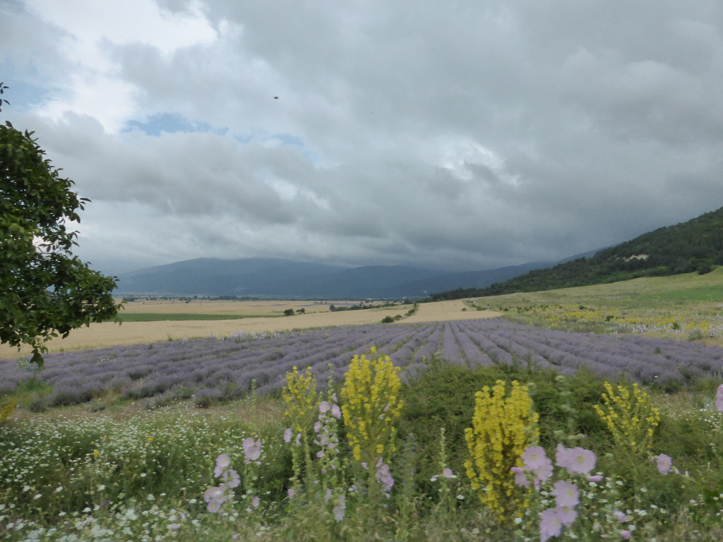 Lavender fields at the base of the mountains. We had planned to see the fields in France this year but our plans changed. This is a bit of compensation.